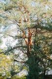 一棵弯曲的杉树 免版税库存照片