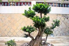 一棵很好被修剪的盆景植物 免版税库存照片