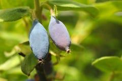 一棵忍冬属植物的两个成熟莓果在分支的,特写镜头 图库摄影