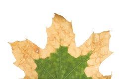 一棵悬铃树的偏僻的黄色叶子 库存照片