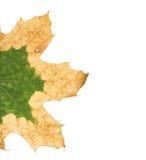 一棵悬铃树的偏僻的黄色叶子 免版税库存照片