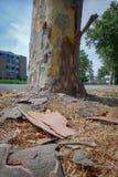 一棵悬铃树,也叫法国梧桐,疏松他的吠声 免版税图库摄影