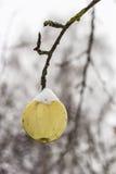 一棵成熟苹果树在出现,季节的为时,第一雪 免版税库存照片