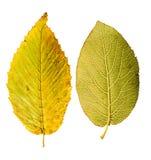 一棵摧毁的秋季欧洲水青冈树le的特写镜头照片 库存照片