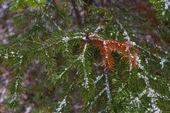 一棵新年树的一个绿色分支与红色针和雪花的在期间降雪在冬天 图库摄影
