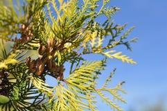 一棵新年树的分支 免版税库存图片