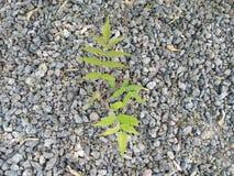 一棵新的植物是出生在石头 免版税库存图片