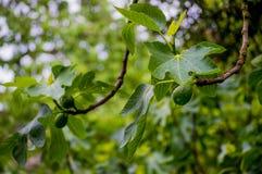 一棵无花果树的分支在雨以后的 库存照片