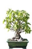 一棵无花果树的盆景在罐的 库存图片