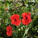 一棵明亮的红色木槿的特写镜头 免版税库存图片