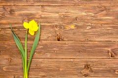 一棵春天黄色水仙在与空间的土气木板条开花文本的 图库摄影
