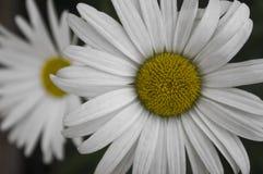 一棵春黄菊的花与白色颜色的瓣的 免版税库存照片
