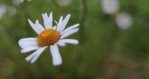 一棵春黄菊自白天在夏天
