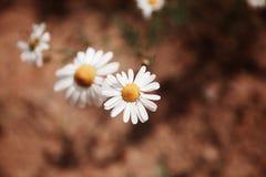 一棵春黄菊的宏观射击在领域的 库存图片