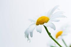 一棵春黄菊的瓣与水滴的  库存图片