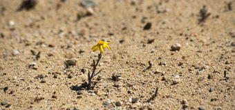 一棵春黄菊的花与黄色瓣的在沙子 免版税库存图片