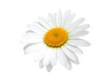 一棵春黄菊 免版税库存图片