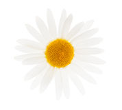 一棵春黄菊 库存图片