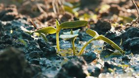 一棵最近增长的植物的毒菌浇灌与喷壶的地面的 水被吸收入土壤 影视素材
