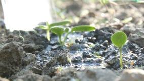 一棵最近增长的植物的毒菌浇灌与喷壶的地面的 水被吸收入土壤 股票视频