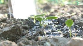一棵最近增长的植物的毒菌浇灌与喷壶的地面的 股票视频