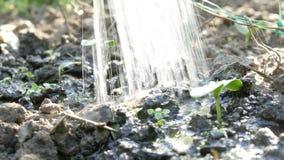 一棵最近增长的植物的毒菌浇灌与喷壶的地面的 影视素材