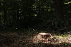 一棵最近被锯的树的树桩与照亮阳光的 库存照片