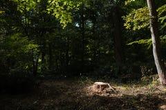 一棵最近被锯的树的树桩与照亮阳光的 免版税库存图片