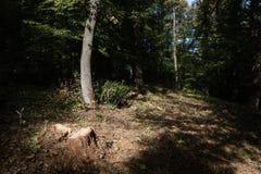 一棵最近被锯的树的树桩与照亮阳光的 库存图片
