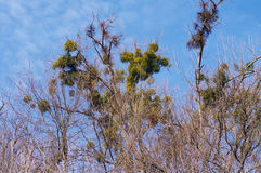 一棵有害的植物在白杨树的寄生生物反对天空 库存图片