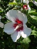 一棵木槿的一束白花与一个红色中间斑点的引起对它异常的注意 免版税库存图片