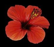 一棵木槿的红色花在被隔绝的黑背景的与裁减路线 特写镜头 没有影子 免版税库存照片