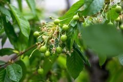 一棵未成熟的樱桃的分支 库存图片