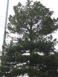 一棵杉木在城市 免版税库存图片