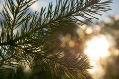 一棵杉木的分支在日落背景的 库存照片