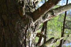 一棵杉木的树干与分支的关闭  免版税库存图片
