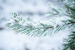 一棵杉木的积雪的分支在冬天公园 免版税库存照片