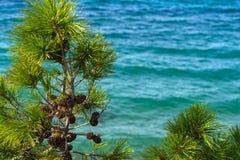 一棵杉木的绿色部分与锥体的 库存照片