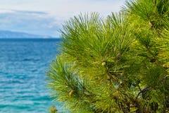 一棵杉木的绿色部分与锥体的 免版税库存图片