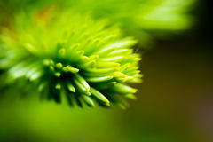 一棵杉木的绿色针,以抽象形式 宏指令 库存照片
