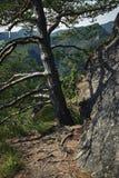一棵杉木的细节在岩石边缘的 免版税库存图片