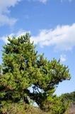 一棵杉树在宫岛海岛,日本 库存照片