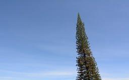 一棵杉树在蓝天下 免版税库存照片