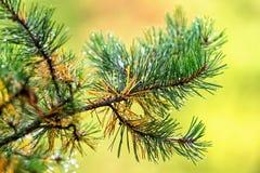 一棵杉树的分支与雨珠的 图库摄影