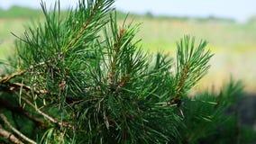 一棵杉树的分支在一个绿色风景的被弄脏的背景的 股票视频