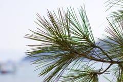 一棵杉树的分支在海前面的 库存照片