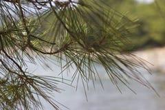 一棵杉树的分支在海前面的 免版税库存照片