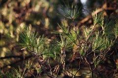 一棵杉树的分支在赫瓦尔岛海岛,克罗地亚 免版税库存图片