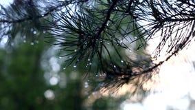 一棵杉树的分支在雨以后的 影视素材