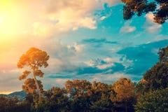 一棵杉树的剪影反对日落天空的 库存图片